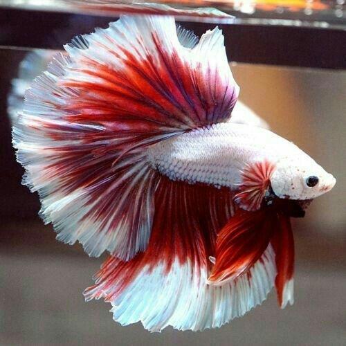 nőstény hal tudni)